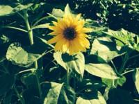ヒマワリ開花